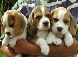 ??? Quality beagle Puppies:???contact us at (478)3316766