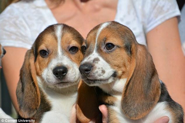 ??? Quality beagle Puppies:???contact us at (478)3316766