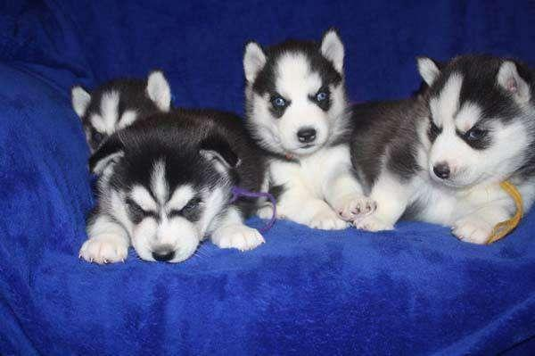 sweet husky for rehoming fee 770 462 4366
