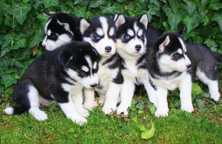 Quality S.i.b.e.r.i.a.n h.u.s.k.y Puppies?:**