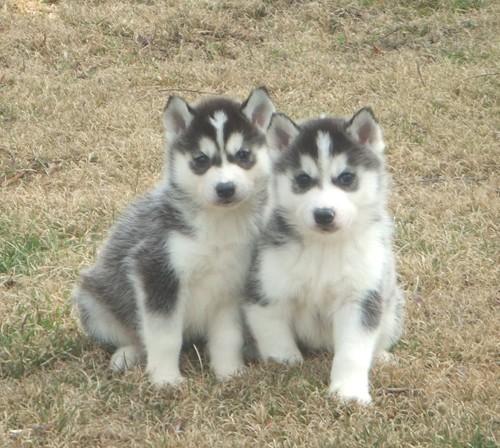 >>>Quality S.i.b.e.r.i.a.n h.u.s.k.y Puppies./.**