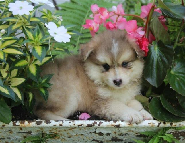 FREE Beautiful Po.m.sky Pu.pp.ies Available (669) 221-7082