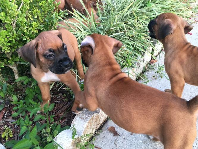 wooow!!Boxer pups for rehoming