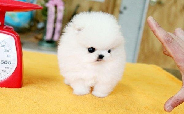 Cute P.O.M.E.R.A.N.I.A.N Puppie.s(360) 646-8485