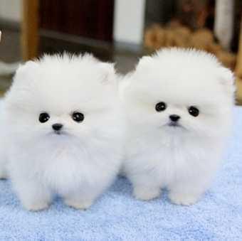 FREE FREE CUTE P.O.M.E.R.A.N.I.A.N Puppies:???
