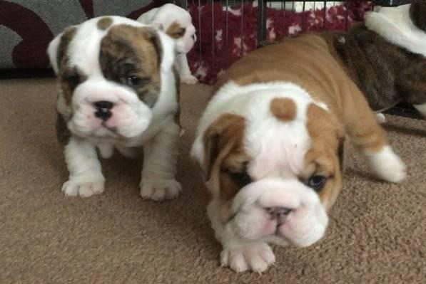 MALE AND FEMALE ENGLISH BULLDOG FOR FREE ADOPTION