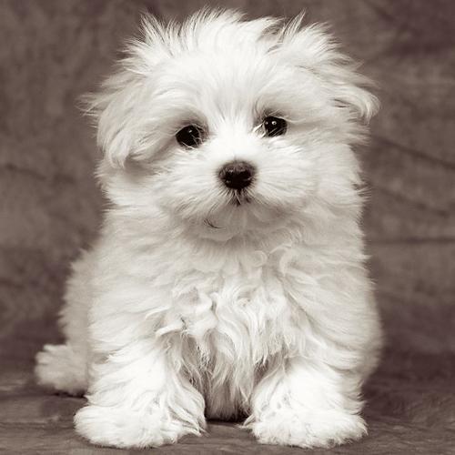 FREE FREE CUTE M.A.L.T.E.S.E Puppies: (808) 465-8069