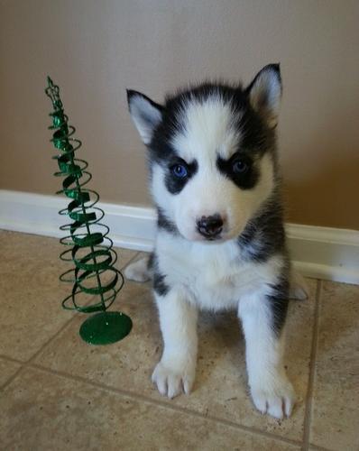 FREE CUTE S.I.B.E.R.I.A.N H.U.S.K.Y Puppies:???contact us at (518) 618-2746