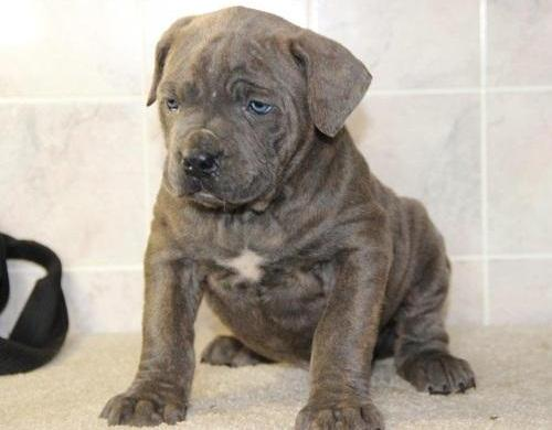 Male/female ICCF Registered cane corso puppies