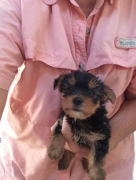 available Yorkie puppies.