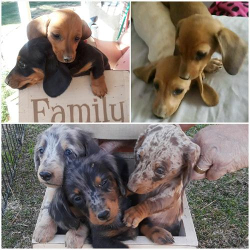 Purebred Mini Doxie Puppies