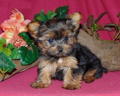 Pretty Female and Male Tea Cup Y.O.R.K.I.E puppies (352) 474-5944