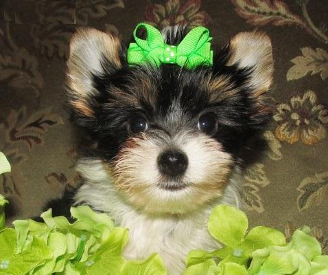 Pretty Female and Male Tea Cup Y.O.R.K.I.E puppies (352) 474-5944