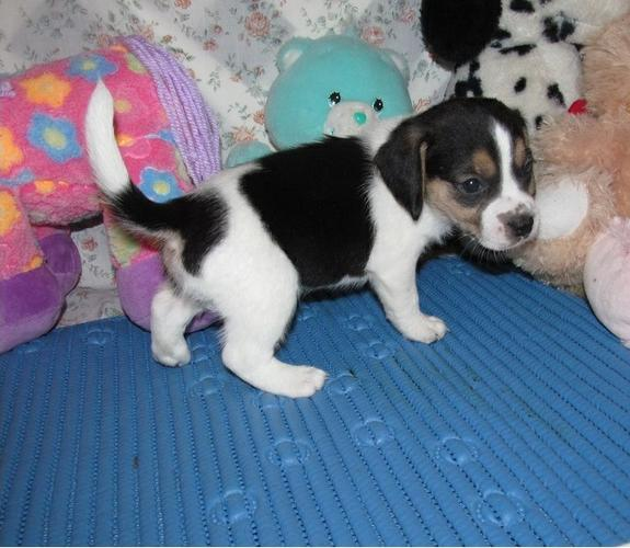 Quality beagle Puppies for adoptioncontact us at (202)5968337