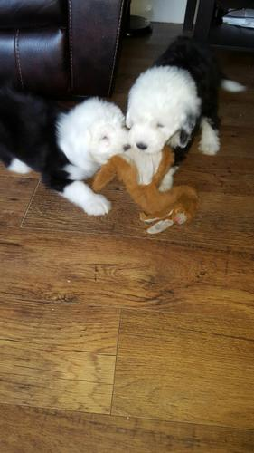 !!!!  Dynamite Old English Sheepdog Puppies:!!!contact us at (701) -645-1164