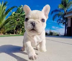 Free Home Trianed French Bull Puppies-