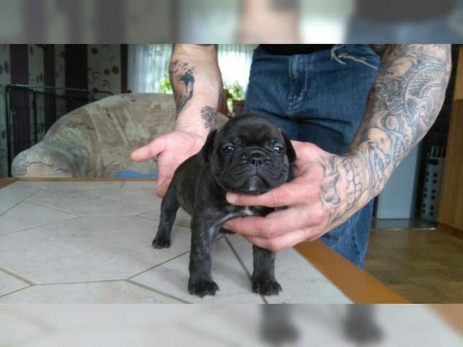 CUTIE F.R.E.N.C.H B.U.L.L.D.O.G Puppies: contact us at (916) 287-3304
