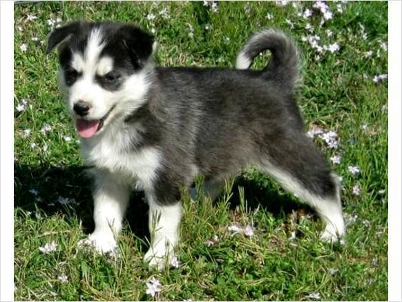 TOP QUALITY S.i.b.e.r.i.a.n H.u.s.k.y. Puppies with blue eyes: S.M.S us at.(731) 681-3597