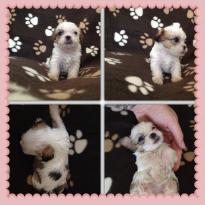male and female Shih Tzu Puppies.. (734) 400-4789