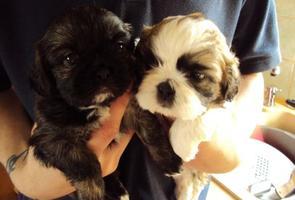 male and female Shih Tzu Puppies.. (734) 400-4789