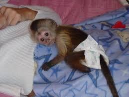 CUTE male and female Capuchin Monkeys For Adoption....................