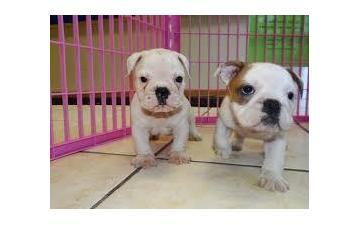 FREE*FREE well trained E.n.g.l.i.s.h B.u.l..l.d.o.g Puppies looking for good homes.
