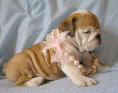 Fantastic Female and Male E.n.g.l.i.s.h  B.u.l.l.d.o.g puppies for new home