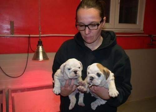 Pretty Female and Male E.n.g.l.i.s.h  B.u.l.l.d.o.g puppies