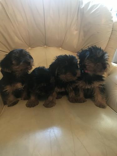 ?Y.o.R.k.i.e P.upp.i.e.s For F.r.e.e, Ready Now 12 Weeks Old #(502) 466-5596