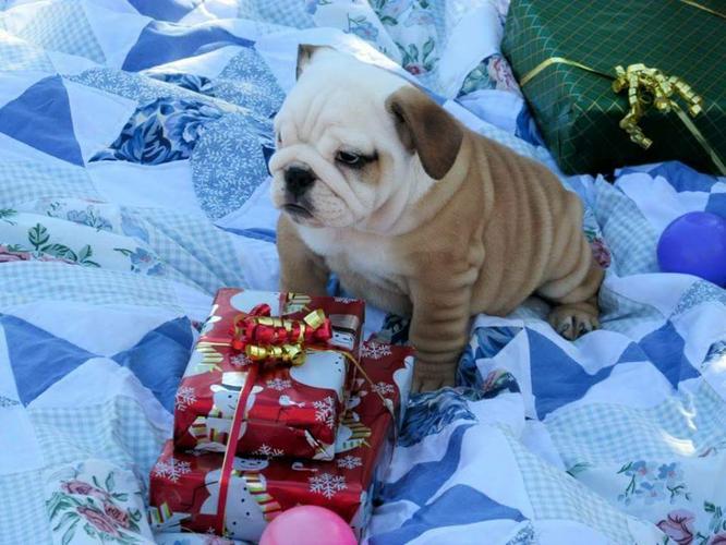 English  Bulldog Pups AKC registered call (774) 203-9008