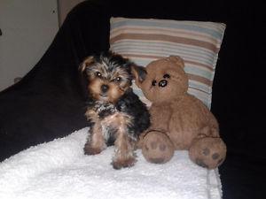 ?!!Y.o.R.k.i.e Pupp.i.e.s For n.e.w H.o.m.e.s,(3343927726/Ready Now 12 Weeks Old #