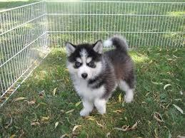 %$% Free Fantastic Male P.om.s.k.y Pu.pp.y for new home %$%(774) 643-2482 )with full AKC