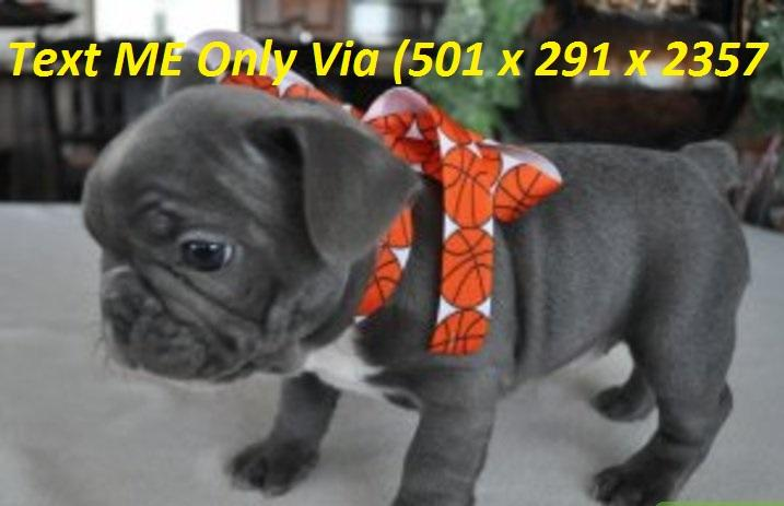 Easy Financing Available - We Ship - French Bulldog