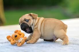 ??Free Gorgeous Englishh Bulldoggs Pu.ppies