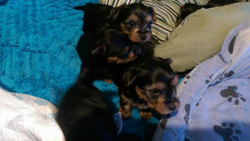 Y.o.R.k.i.e P.upp.i.e.s For F.r.e.e, Ready Now 12 Weeks Old #(770) 232-6588