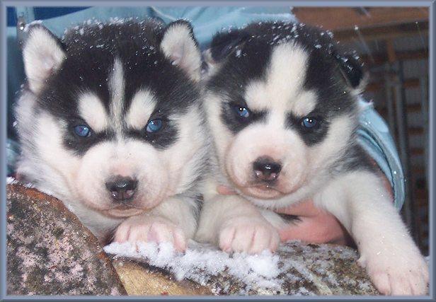 Healthy Siberia.n Husk.y puppies!!!(215) 664-7045