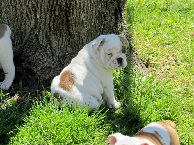 Quality English Bulldoggss Puppies