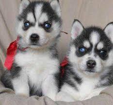 CUTIE S.I.B.E.R.I.A.N H.U.S.K.Y Puppies: contact us at (908) 336-7937