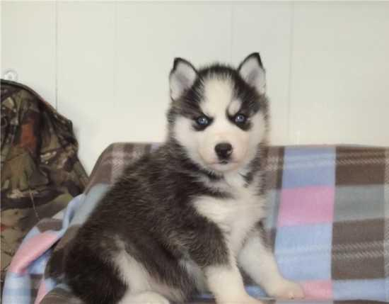 FREE Quality siberians huskys Puppies:contact us at (512) 566-7584