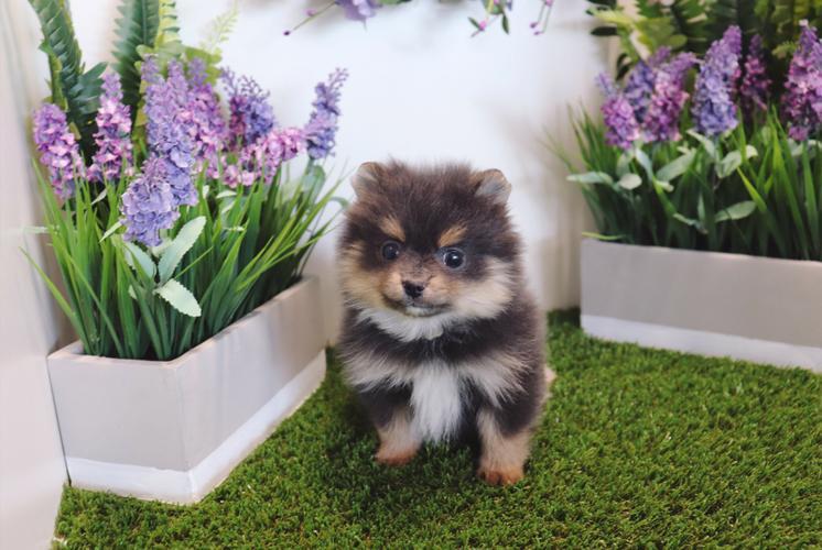 Pomeranian - Lovely - Female