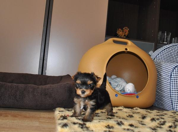 Excellent Yorkie Puppies for new Home