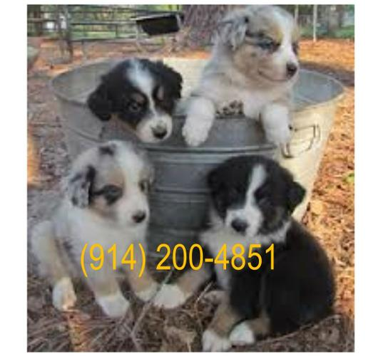 Stunning litters of Australian shepherd puppies readyxx 914 x 200 x 4851