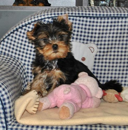 good nice looking Yorkie puppies for sale