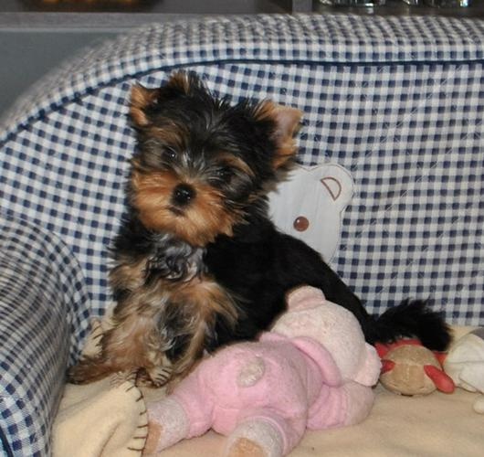 good well trained Yorkie puppy for adoption