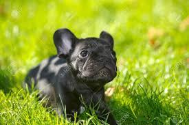 Free Healthy French Bulldong Puppies@...l