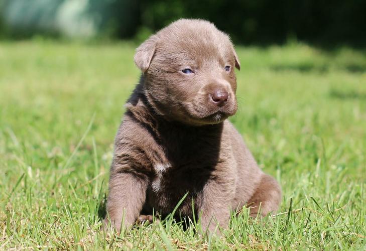 cute Labrador R.e.t.r.i.e.v.e.r puppies  (972) 474-8349
