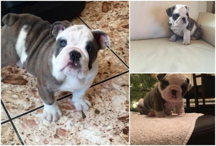 Healthy E.N.G.L.I.S.H B.U.L.L.D.O.G puppies!!!send me sms at (484) 589-0513