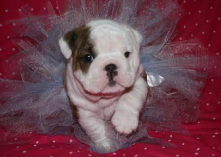Very Outstanding Quality English Bulldogs puppies !!!send me sms at (484) 589-0513
