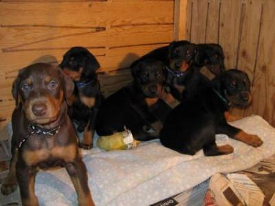 AKC Registered Doberman Puppies  (432) 547-9841