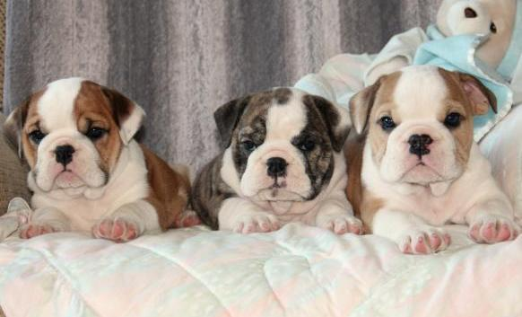 Cute Healthy E.N.G.L.I.S.H B.U.L.L.D.O.G puppies!!!send me sms at (484) 589-0513